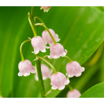 Convallaria majalis 'Rosea' Lily-of-the-Valley
