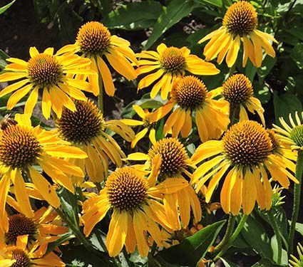 Echinacea Butterfly™ 'Golden Skipper'