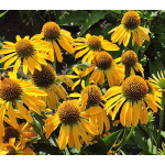 Echinacea Butterfly™ Golden Skipper