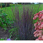 Ornamental Grass: Schizachyrium scoparium 'Smoke Signal'