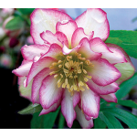 Helleborus x hybridus Winter Jewels® 'Rose Quartz'