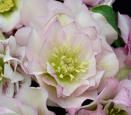 Helleborus Wedding Party™ 'Flower Girl'
