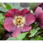Helleborus Honeymoon™ 'Rome in Red'