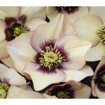 Helleborus Honeymoon® 'Sandy Shores'