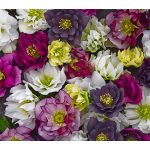 Helleborus Wedding Party™ Mix