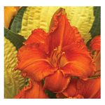 Hemerocallis (Daylily) 'Fire King'