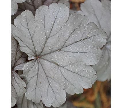 Heuchera 'Stainless Steel'