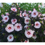 Hibiscus Summerific® 'Perfect Storm'