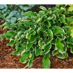 Hosta Shadowland™ 'Wheee!'