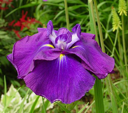 Iris ensata 'Loyalty'