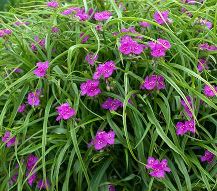Tradescantia x andersoniana Red Cloud