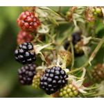 Thornless Blackberry Pair: Chester and Triple Crown