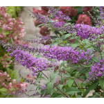 Buddleia InSpired™ Violet