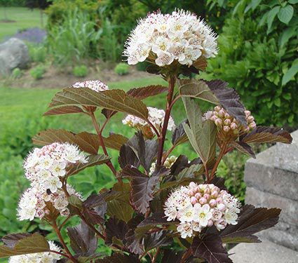 Physocarpus opulifolius Red Robe™