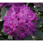 Rhododendron Florence Parks