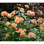 <strong>Saturday, June 10 - 10 a.m. - 11 a.m.</strong> Growing Roses Made Easy