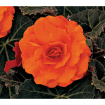 Begonia Nonstop® Mocca Bright Orange