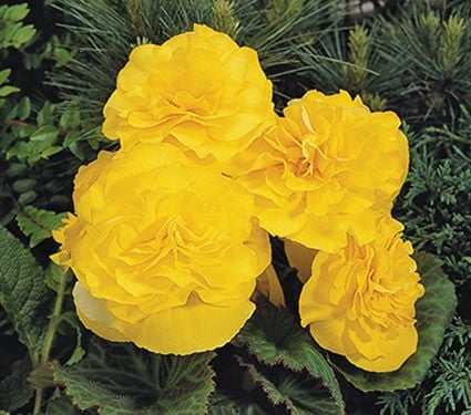 Begonia Nonstop® Yellow