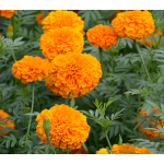 Tagetes erecta Giant Orange