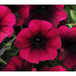 Petunia Easy Wave® Burgundy Velour