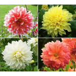 Dinnerplate Dahlia Collection 4 tubers