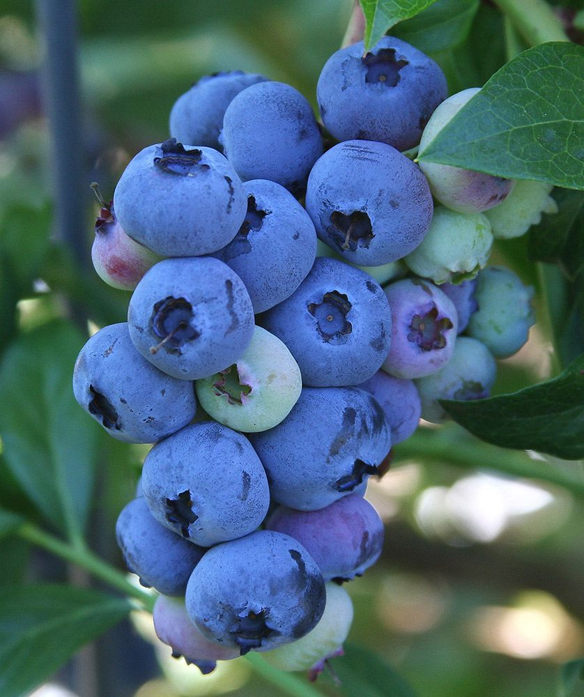 Blueberry Blueray