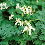 Dicentra Ivory Hearts