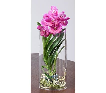 vanda orchid care instructions