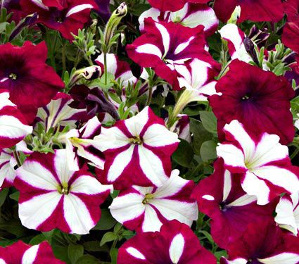 Petunia Easy Wave® Burgundy Star