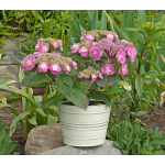 Hydrangea Tuff Stuff™ in cream metal cachepot