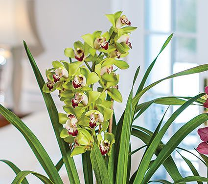 Exclusive Green Cymbidium Orchid in 6