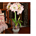 Amaryllis 'Aphrodite,' one bulb, hurricane vase, and clear gem stones