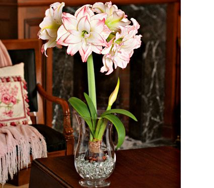 Amaryllis Aphrodite 1 Bulb 11 12 Hurricane Vase And Clear Gem