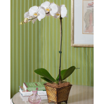 Months of Easy-Care Moth Orchids - Grower's Choice