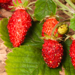 Fragaria vesca Baron Solemacher Strawberry