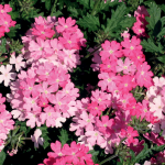 Verbena Lanai® Bright Eye