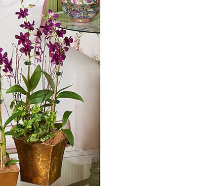 Deep Purple Dendrobiums in 7