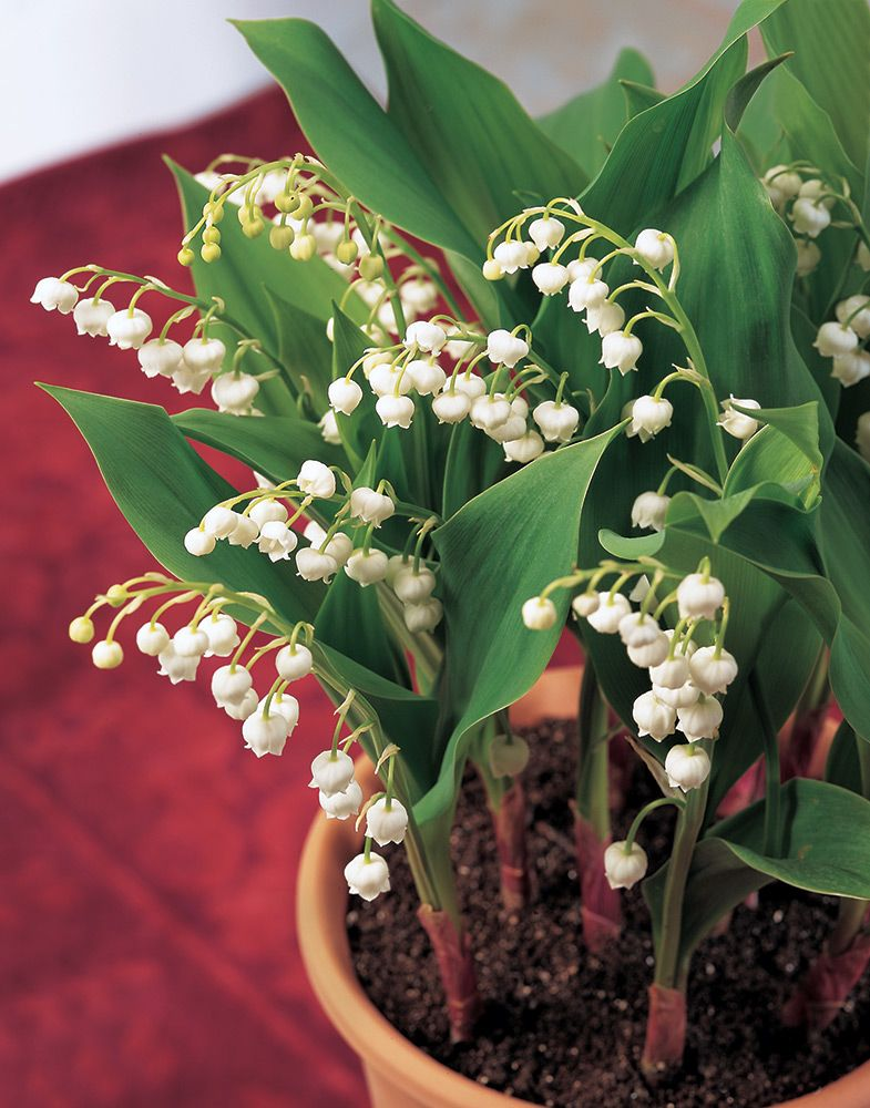 Lily-of-the-Valley, 12 pips