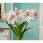 WFF Guide To Growing Amaryllis