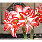 Amaryllis 'Splash'