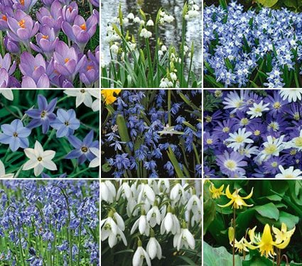 Woodland Naturalizing Collection of Bulbs
