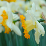 Narcissus Orange Lion