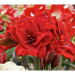 Amaryllis 'Cherry Nymph'