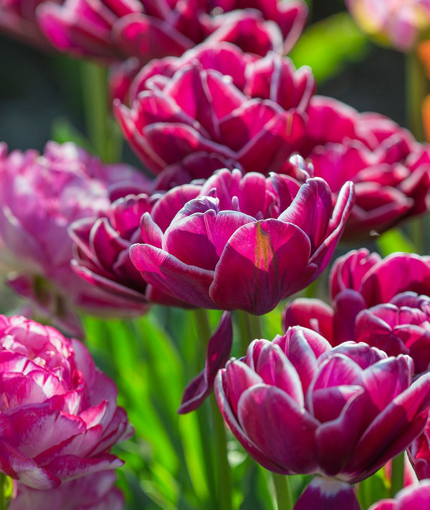 Tulip 'Dream Touch'