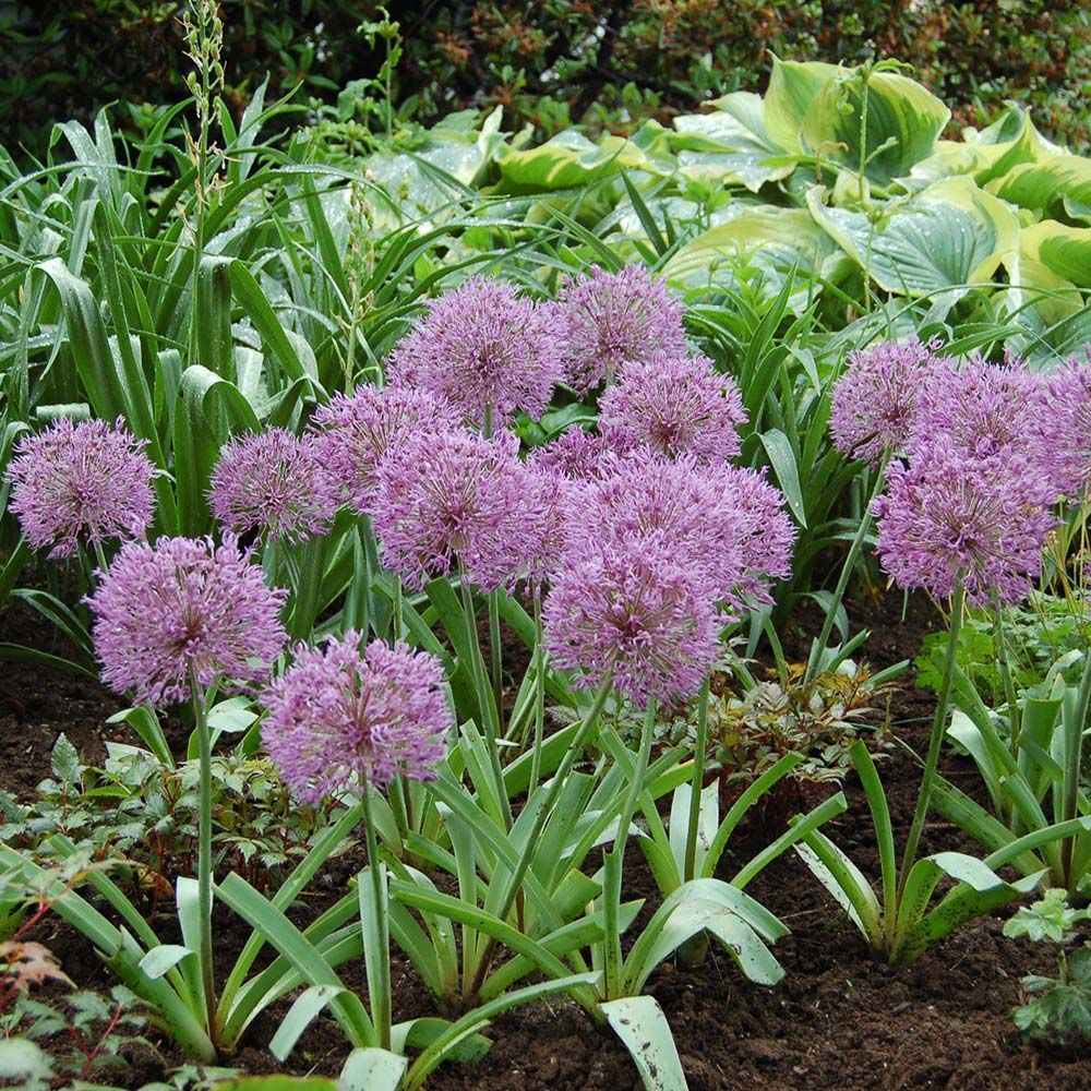 Allium 'Powder Puff'