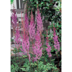 Astilbe chinensis var. taquetii Purple Candles