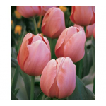 Tulip 'Salmon Impression'