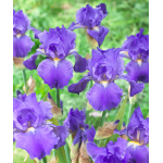 Reblooming Iris Blue Suede Shoes