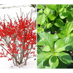 Compact Winterberry Duo