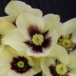 Helleborus Honeymoon® 'Spanish Flare'